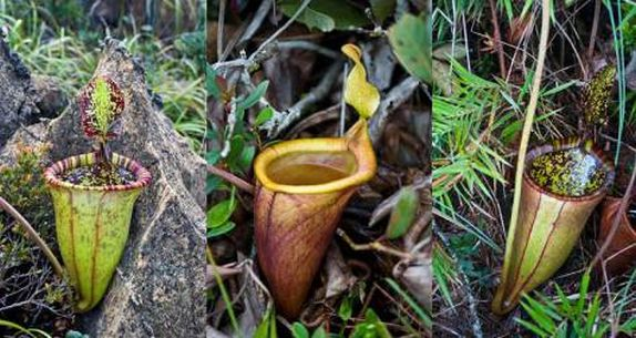 Giant Pitcher Plant_1