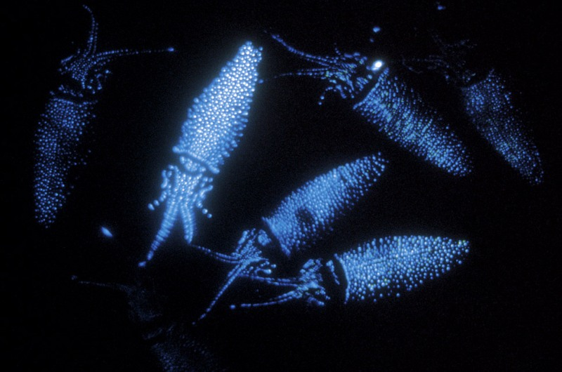 Bioluminescent-firefly-squid