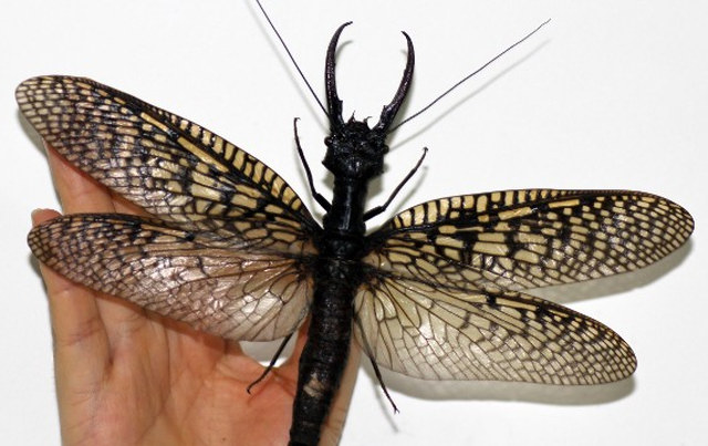 largest_dobsonfly