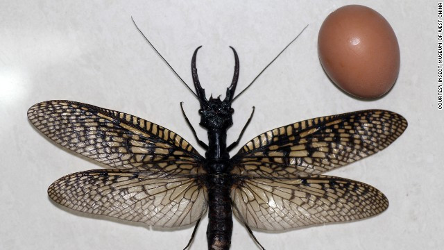 largest_dobsonfly_1
