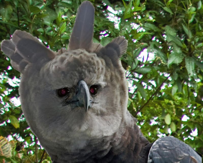 Oddest national animal_Harpy Eagle