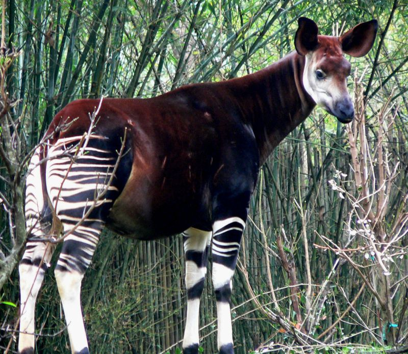Oddest national animal_Okapi