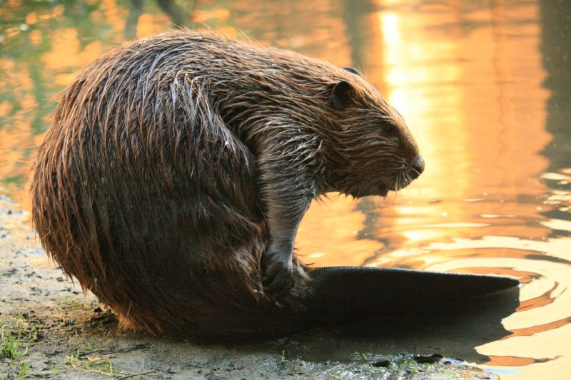 Oddest national animal_beaver