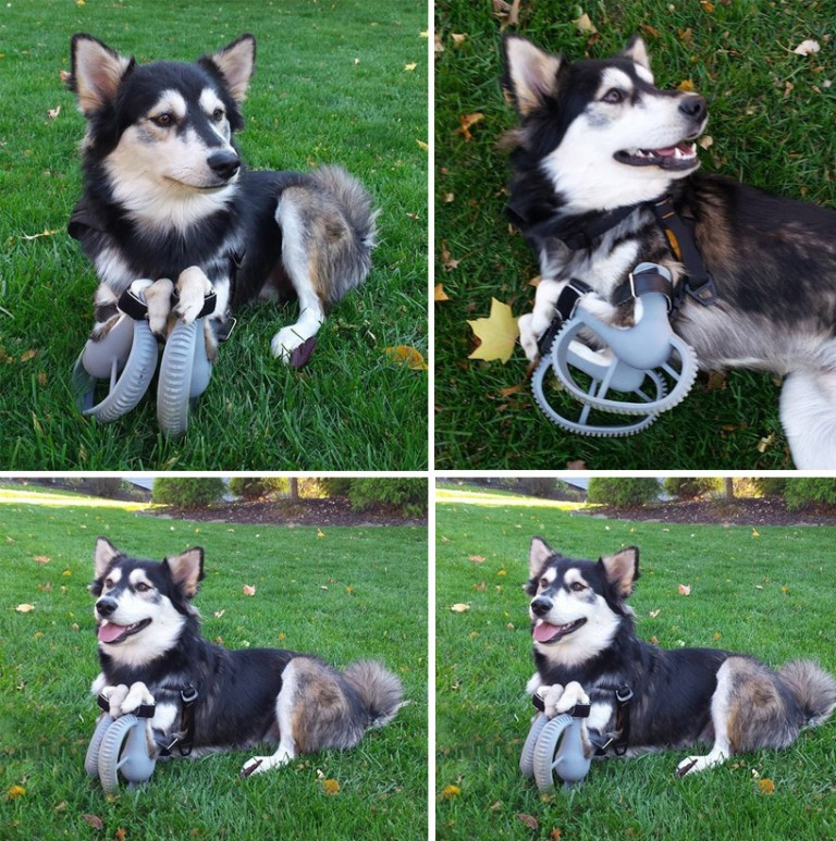 3D-printed-paws-allow-disabled-dog-to-run-2