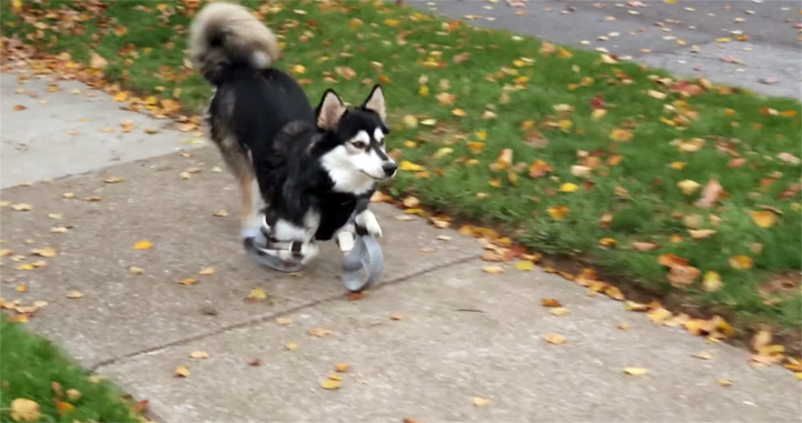 Derby, a disabled dog, runs for the first time with the help of 3D-printed prosthetic paws-1