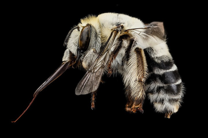 USGS_macro-photos_bees_2