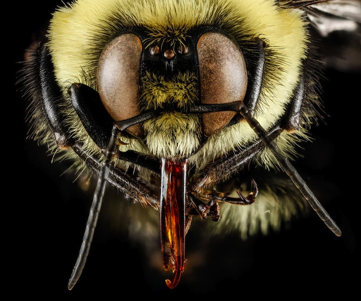 USGS_macro-photos_bees_4