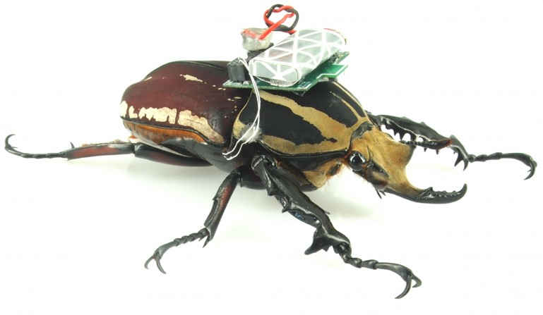 Scientists_Remotely_Control_Beetle_Flight_1