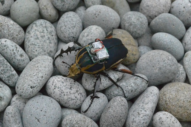 Scientists_Remotely_Control_Beetle_Flight_4