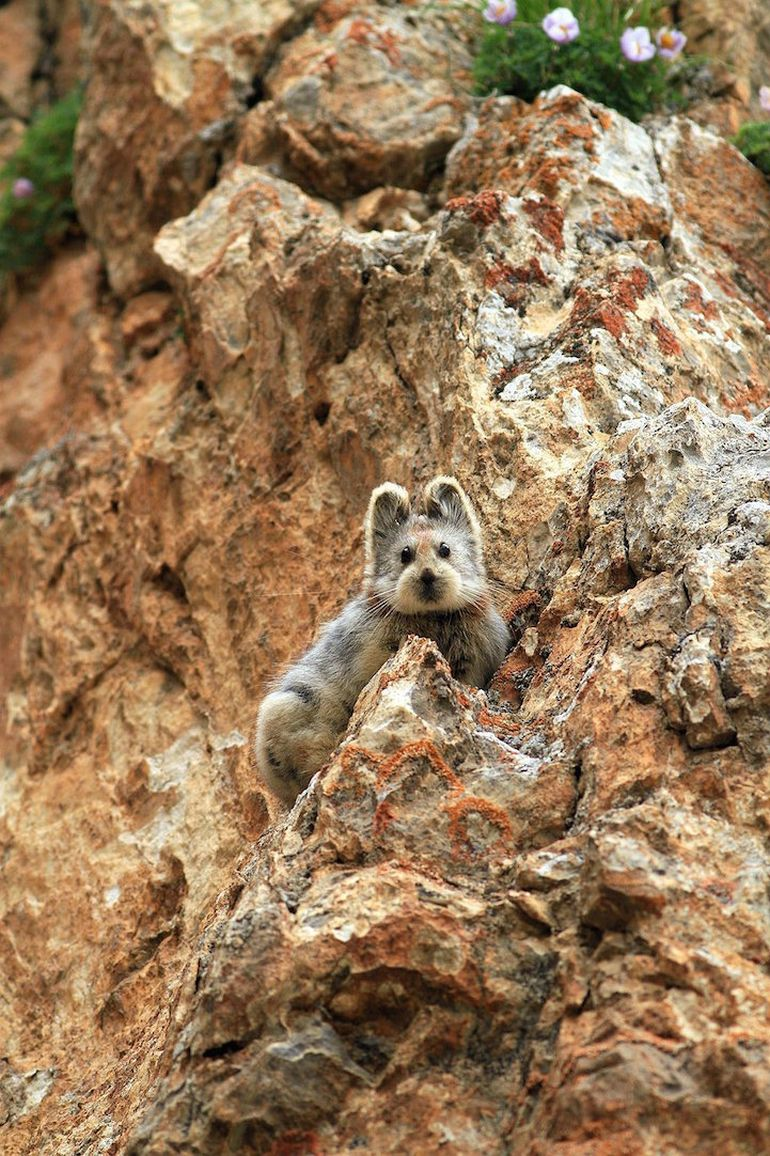 Ili Pika Spotted For The First Time In Two Decades-2