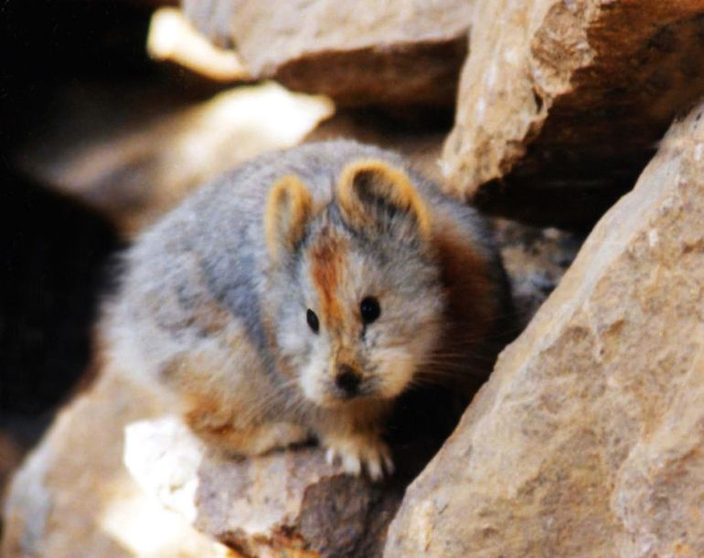 Ili Pika Spotted For The First Time In Two Decades-3
