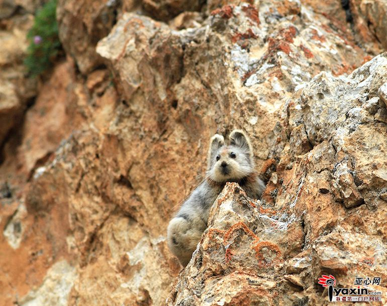 Ili Pika Spotted For The First Time In Two Decades-6