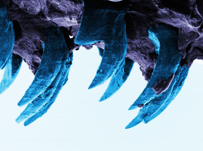 World_Strongest_Natural_Material_Goethite_Limpet_Teeth