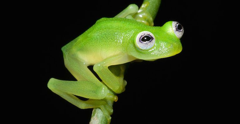 Newly-Discovered Kermit-Lookalike Glass Frog-2