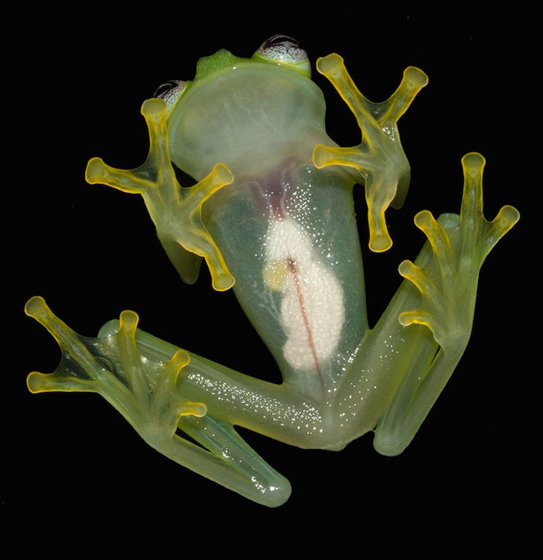 Newly-Discovered Kermit-Lookalike Glass Frog-3