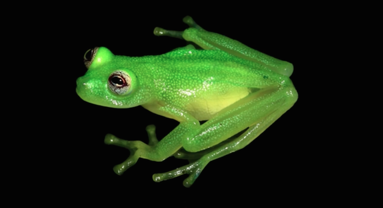 Newly-Discovered Kermit-Lookalike Glass Frog-5