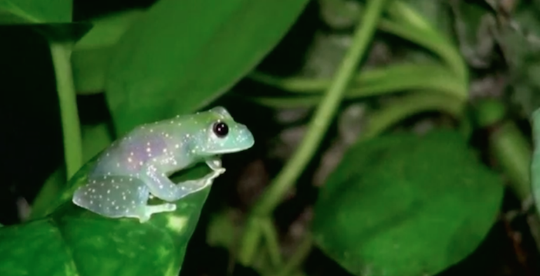 Newly-Discovered Kermit-Lookalike Glass Frog-6