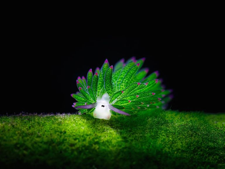Aww! This Adorable Sea Slug Looks Like A Cartoon Sheep-11