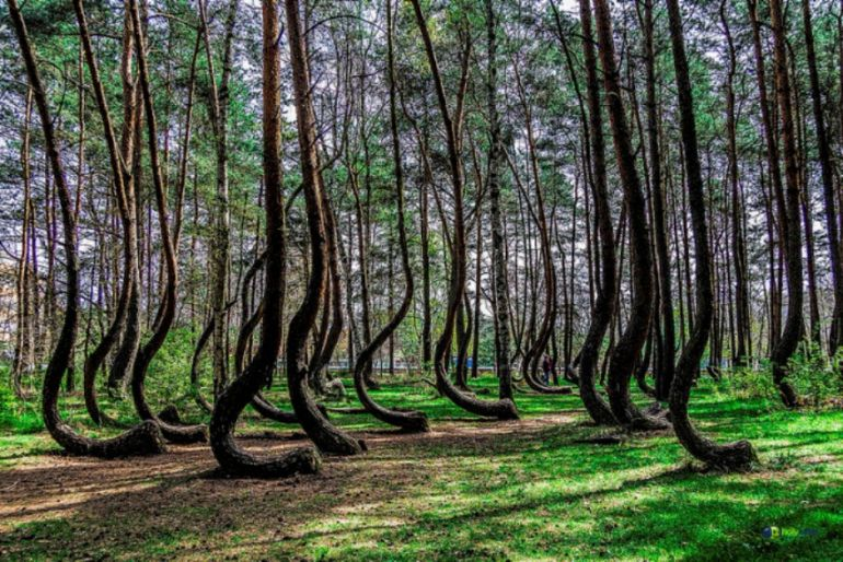 Crooked_forest_Poland_Amazing_Places_To_Visit_Fantasy_3