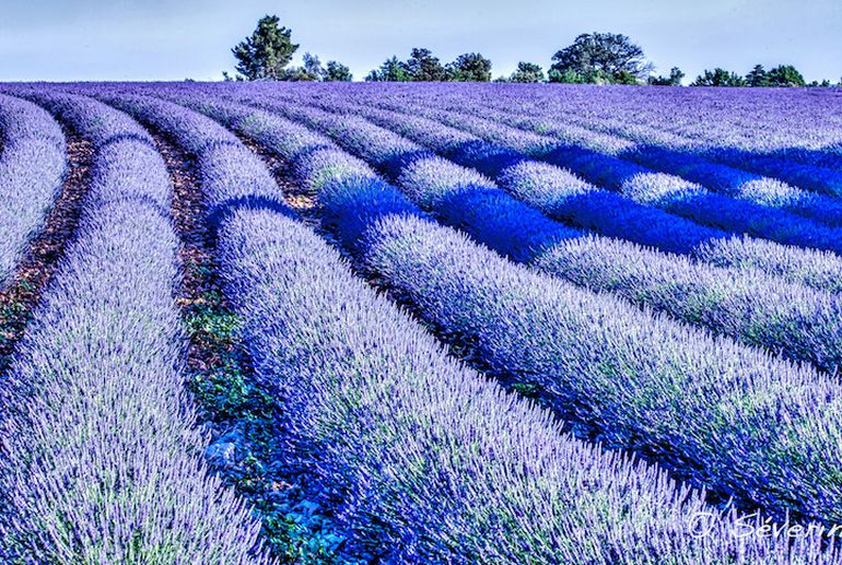 Mesmerising Beauty of Lavender Fields in Full Bloom-10