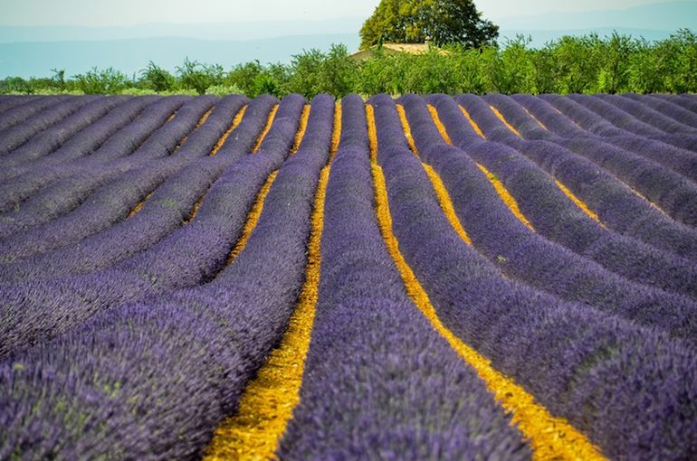 Mesmerising Beauty of Lavender Fields in Full Bloom-11