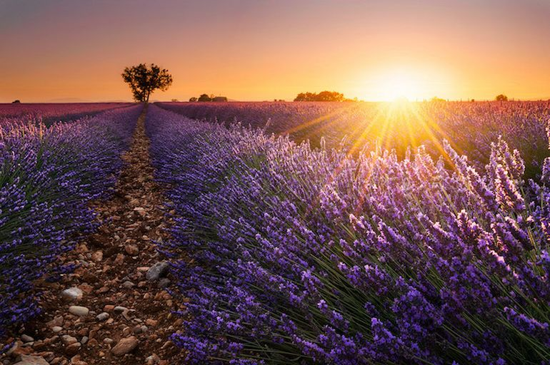 Mesmerising Beauty of Lavender Fields in Full Bloom-12
