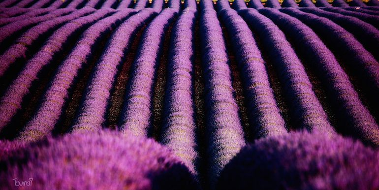 Mesmerising Beauty of Lavender Fields in Full Bloom-13