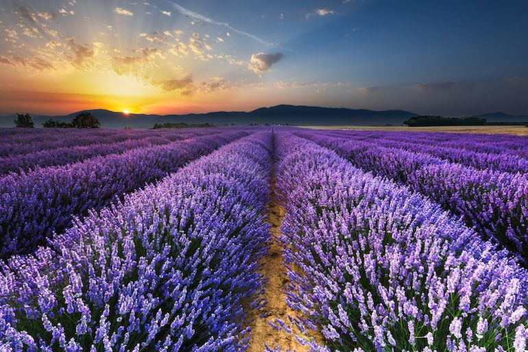 Mesmerising Beauty of Lavender Fields in Full Bloom-2