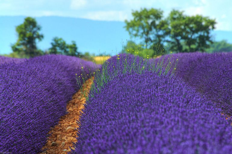 Mesmerising Beauty of Lavender Fields in Full Bloom-3