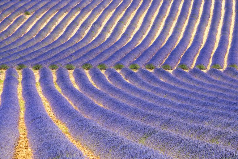 Mesmerising Beauty of Lavender Fields in Full Bloom-4