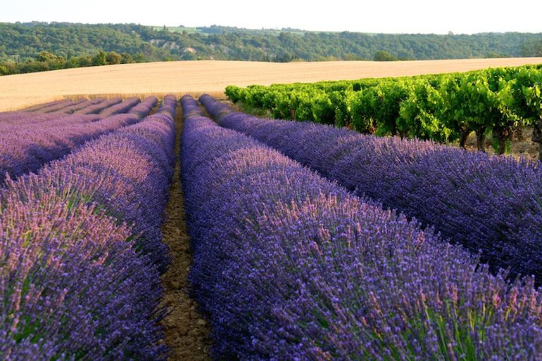 Mesmerising Beauty of Lavender Fields in Full Bloom-5