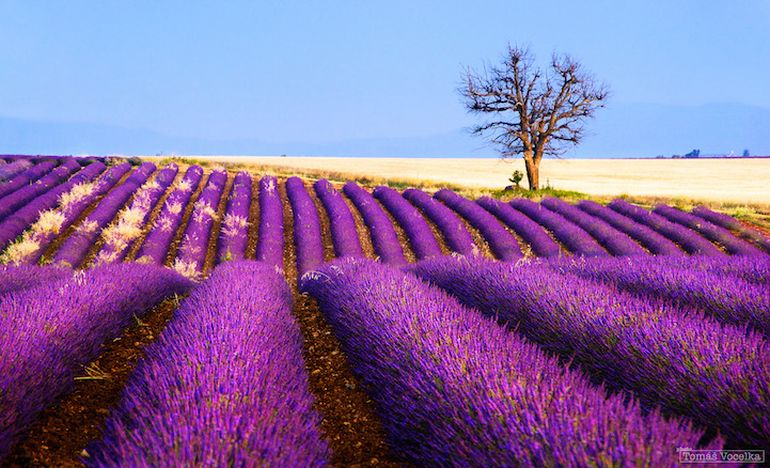 Mesmerising Beauty of Lavender Fields in Full Bloom-6