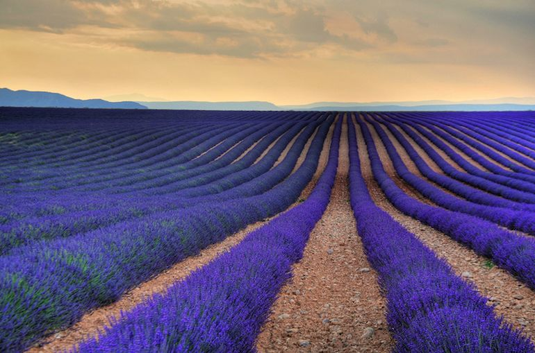 Mesmerising Beauty of Lavender Fields in Full Bloom-8