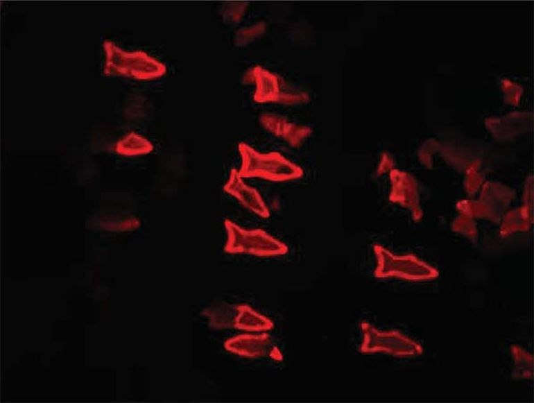 3D-Printed Microfish Robots Double As Efficient Toxin Sensors-2