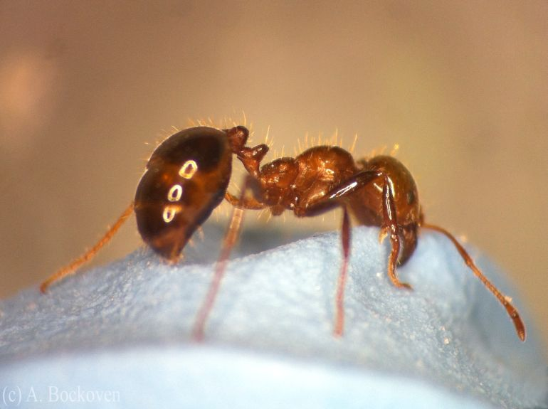 Like Humans, Ants Can Self-Medicate Against Fungal Infections-3
