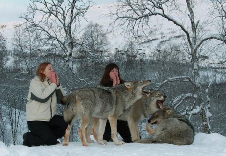 Norway's Polar Park Allows Guests To Camp Among Wolves-2
