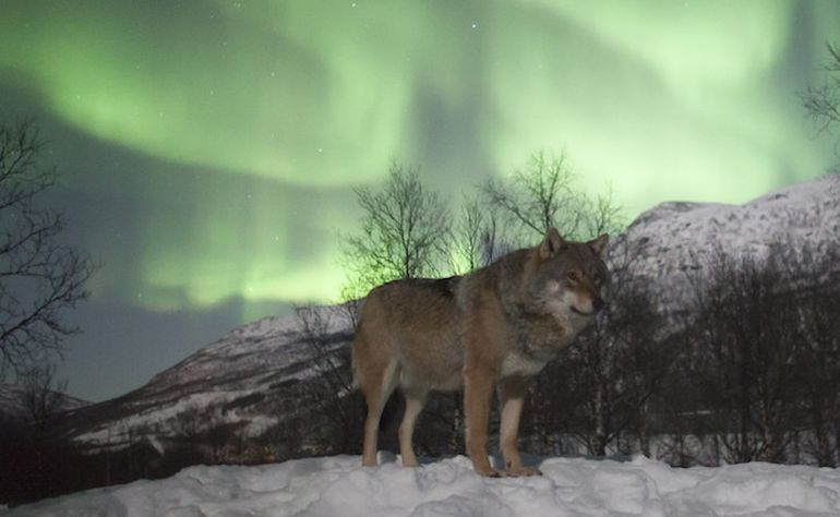 Norway's Polar Park Allows Guests To Camp Among Wolves-5