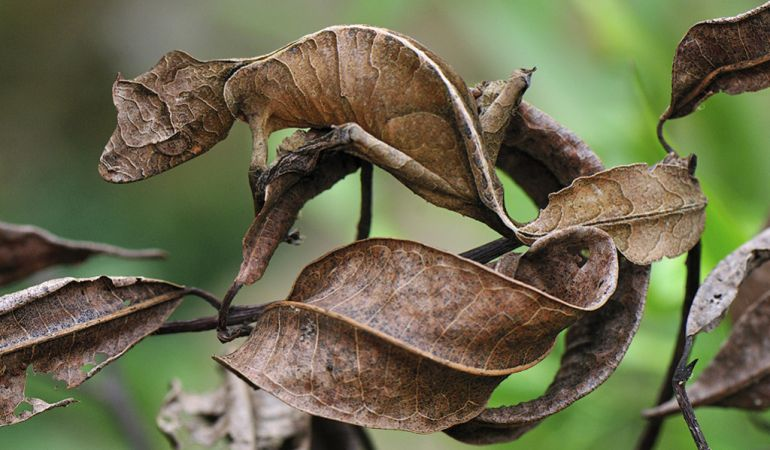 animal-camouflage_Leaf_tailed_gecko_astonishing_1