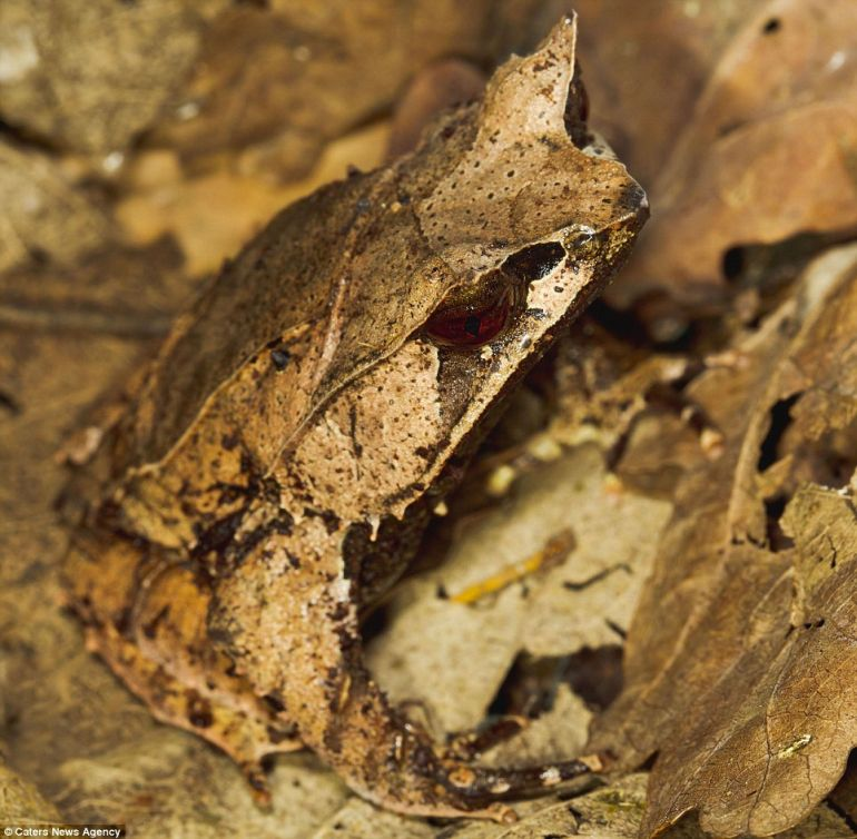animal-camouflage_bat_faced_toad_astonishing_2