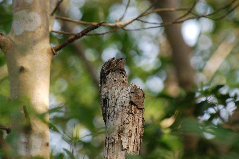 animal-camouflage_great_potoo_astonishing_2