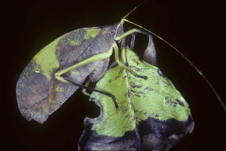 animal-camouflage_katydid_astonishing_1