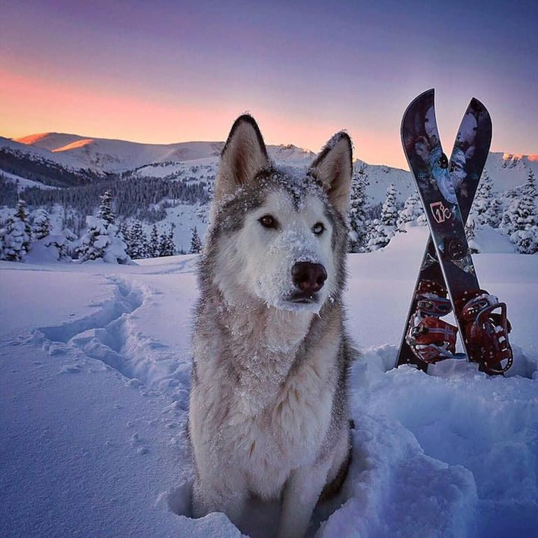 Meet Loki, The Wolfdog With 392,000 Instagram Followers-13