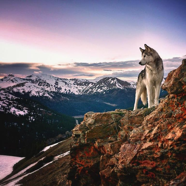 Meet Loki, The Wolfdog With 392,000 Instagram Followers-2