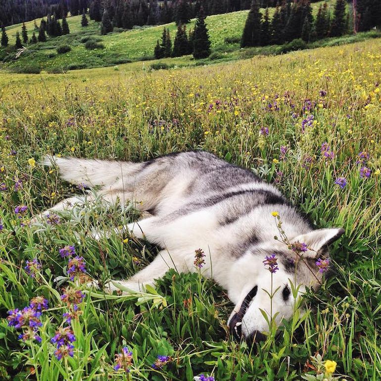 Meet Loki, The Wolfdog With 392,000 Instagram Followers-4