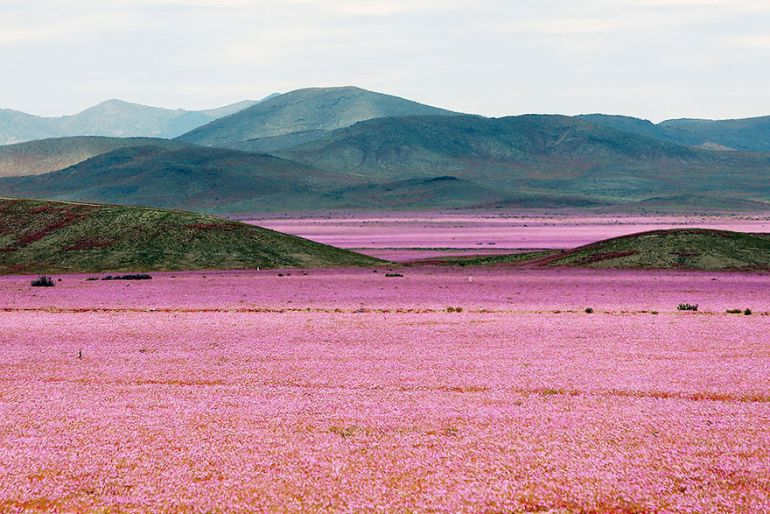 Atacama Desert_Flowers_Bloom_Climate_Change_1