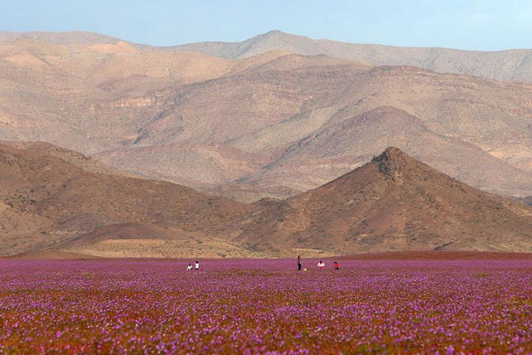 Atacama Desert_Flowers_Bloom_Climate_Change_3