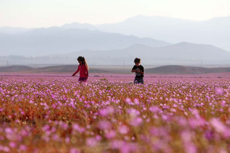Atacama Desert_Flowers_Bloom_Climate_Change_4