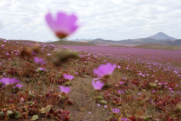Atacama Desert_Flowers_Bloom_Climate_Change_5