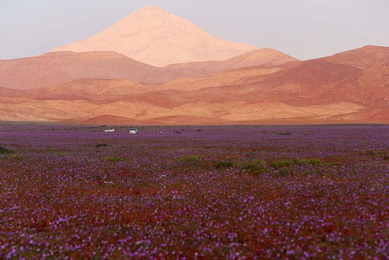 Atacama Desert_Flowers_Bloom_Climate_Change_6