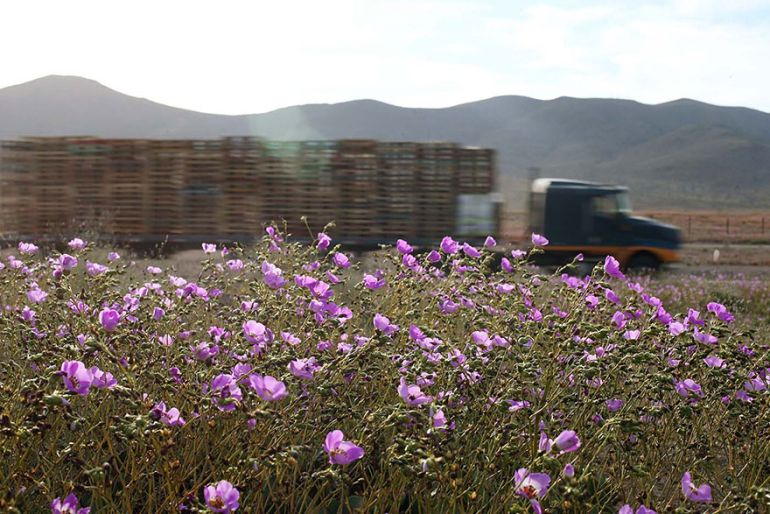 Atacama Desert_Flowers_Bloom_Climate_Change_7